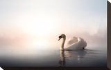 Swan Floating on Pond at Dawn