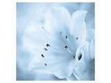 Bluish Azalea Flower