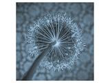 Allium Garlic Flower Close-Up