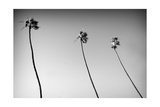 3 Palms Bw