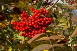 Berries Rowan
