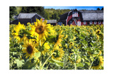 Sunflowers Field With a Red Barn  New Jersey