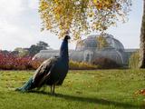 Kew Peacock