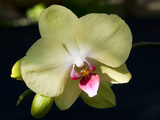 Orchid Phalaenopsis Yellow With Purple