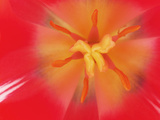 Inner Heart Of Red Tulip