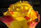Rose Yellow 1