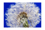 Dandelion Seeds On Blue
