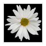 This White Daisy