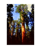 Giant Sequoias in Grant Grove
