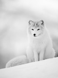 Arctic Fox Male Portrait  Norway