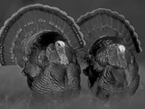 Wild Turkey Males Displaying  Texas  USA