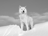 Arctic Grey Wolf in Snow  Idaho  USA