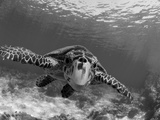 Sea Turtle, Swimming Underwater, Nosy Be, North Madagascar Reproduction d'art par Inaki Relanzon