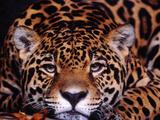 Portrait of a Jaguar  Brazil