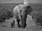 Mother and Calf, African Elephant (Loxodonta Africana), Addo National Park, South Africa, Africa Reproduction d'art par Ann & Steve Toon