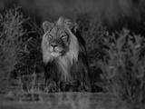 Lion Male  Kalahari Gemsbok  South Africa
