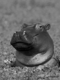 Hippopotamus Surrounded by Water Lettuce  Kruger National Park  South Africa