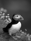 Puffin Portrait  Great Saltee Is  Ireland