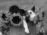 Mixed-Breed Piglet in Basket with Sunflowers  USA