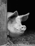 Domestic Pig Looking out of Stable, Europe Papier Photo par Reinhard