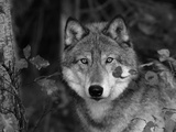 Grey Wolf Portrait  USA