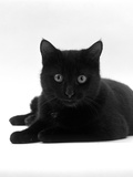 Domestic Cat  Young Black Male