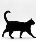Domestic Cat  Black Short-Hair Male  Walking Profile