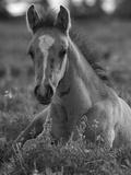 Mustang / Wild Horse Colt Foal Resting Portrait, Montana, USA Pryor Mountains Hma Papier Photo par Carol Walker