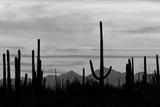 Saguaro Forest  Sonoran Desert  Saguaro National Park  Arizona  USA