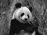 Giant Panda Feeding  Qionglai Mtns  Sichuan  China
