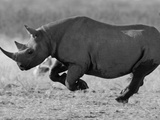Black Rhinoceros, Running, Namibia Papier Photo par Tony Heald