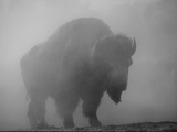 Bison  Bull Silhouetted in Dawn Mist  Yellowstone National Park  USA