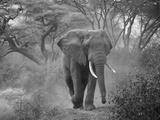 Loxodonta Africana  Lake Manyara National Park  Tanzania