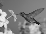 Broad Billed Hummingbird  Male Feeding on Nicotiana Flower  Arizona  USA