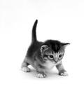 Domestic Cat  3-Week Ticked-Tabby Kitten