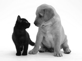 Black Domestic Kitten (Felis Catus) and Labrador Puppy (Canis Familiaris) Looking at Each Other