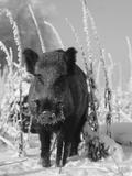 Wild Boar in Winter (Sus Scrofa), Europe Papier Photo par Reinhard
