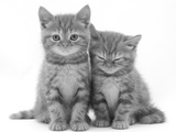 Two Ginger Domestic Kittens (Felis Catus)