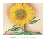 A Sunflower from Maggie  1937