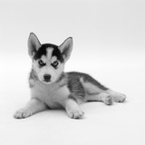 Blue-Eyed Siberian Husky Dog Puppy  6 Weeks Old  Lying Down