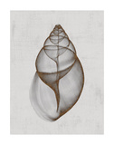 Achatina Shell