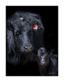 Black Angus Reproduction d'art par Barry Hart