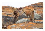 Churchill Red Fox