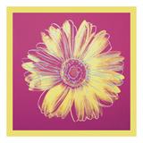 Daisy  c1982 (fuchsia & yellow)