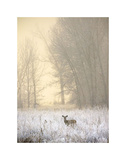 White-tailed Deer in Fog