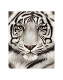 White Tiger Face Portrait Reproduction d'art par Rachel Stribbling