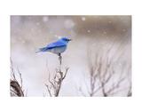 Yellowstone Bluebird