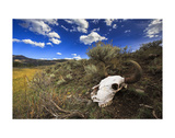 Yellowstone Bison Skull