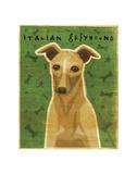Italian Greyhound (Fawn)