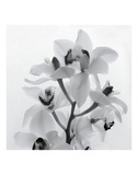 Orchid Spray I